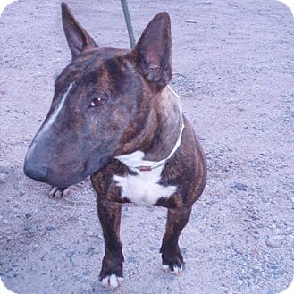 Los Angeles Ca Bull Terrier Meet Roy A Dog For Adoption Bull Terrier Dog Adoption Pets