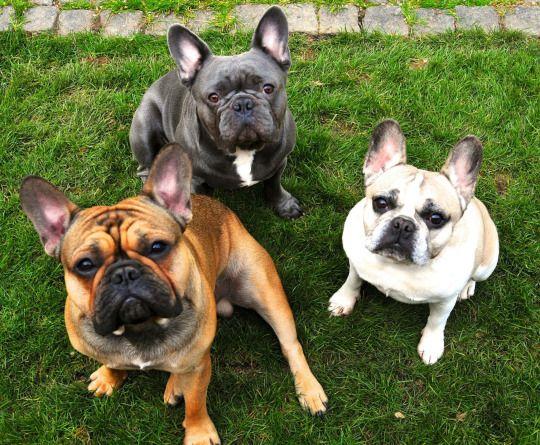The Dailyfrenchie Susseste Haustiere Franzosische Bulldogge Und