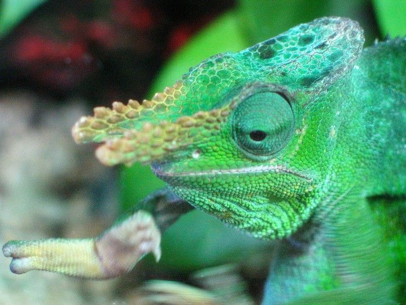 Fischer S Chameleon Kinyongia Fischeri Animals Beautiful