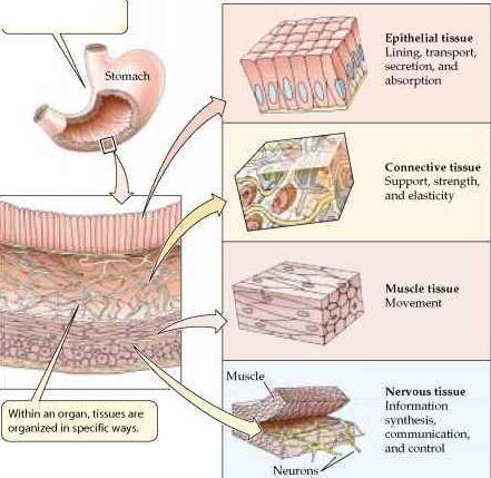 stomach wall structure detail tissue types stomach on types of structural walls id=21809