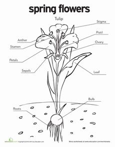 Tulip Diagram Coloring Page | Parts of a flower, Coloring ...