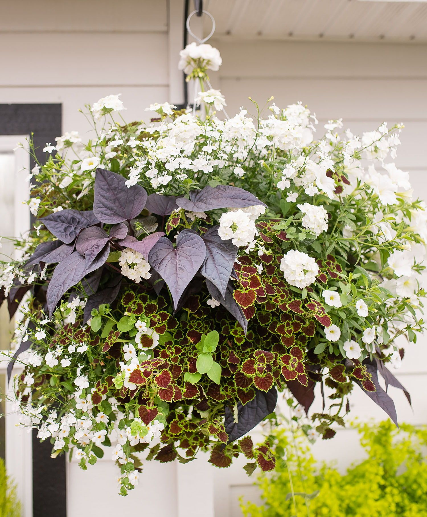 Cookies And Cream Hanging Basket In Whites And Dark Foliage Www