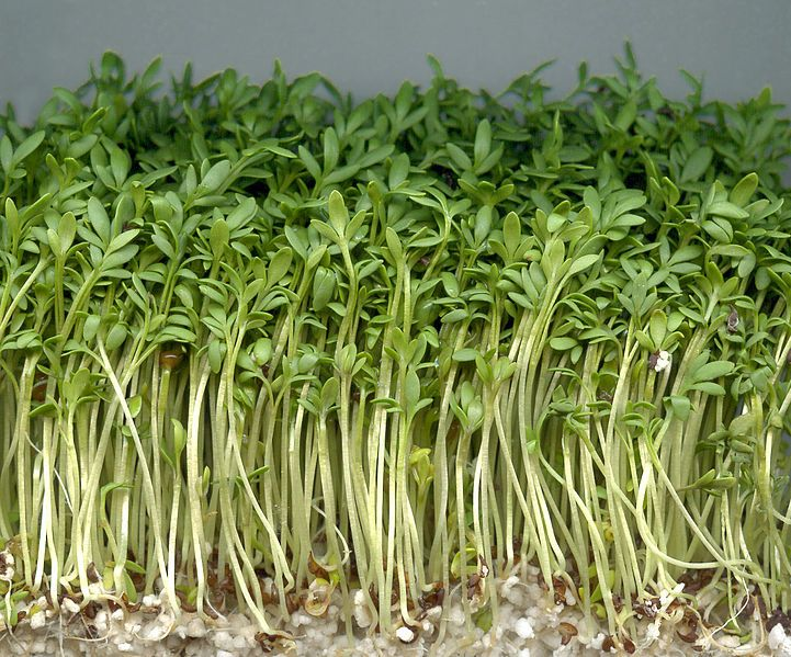 To Successfully Grow Garden Cress Indoors 1 Fill A Container A