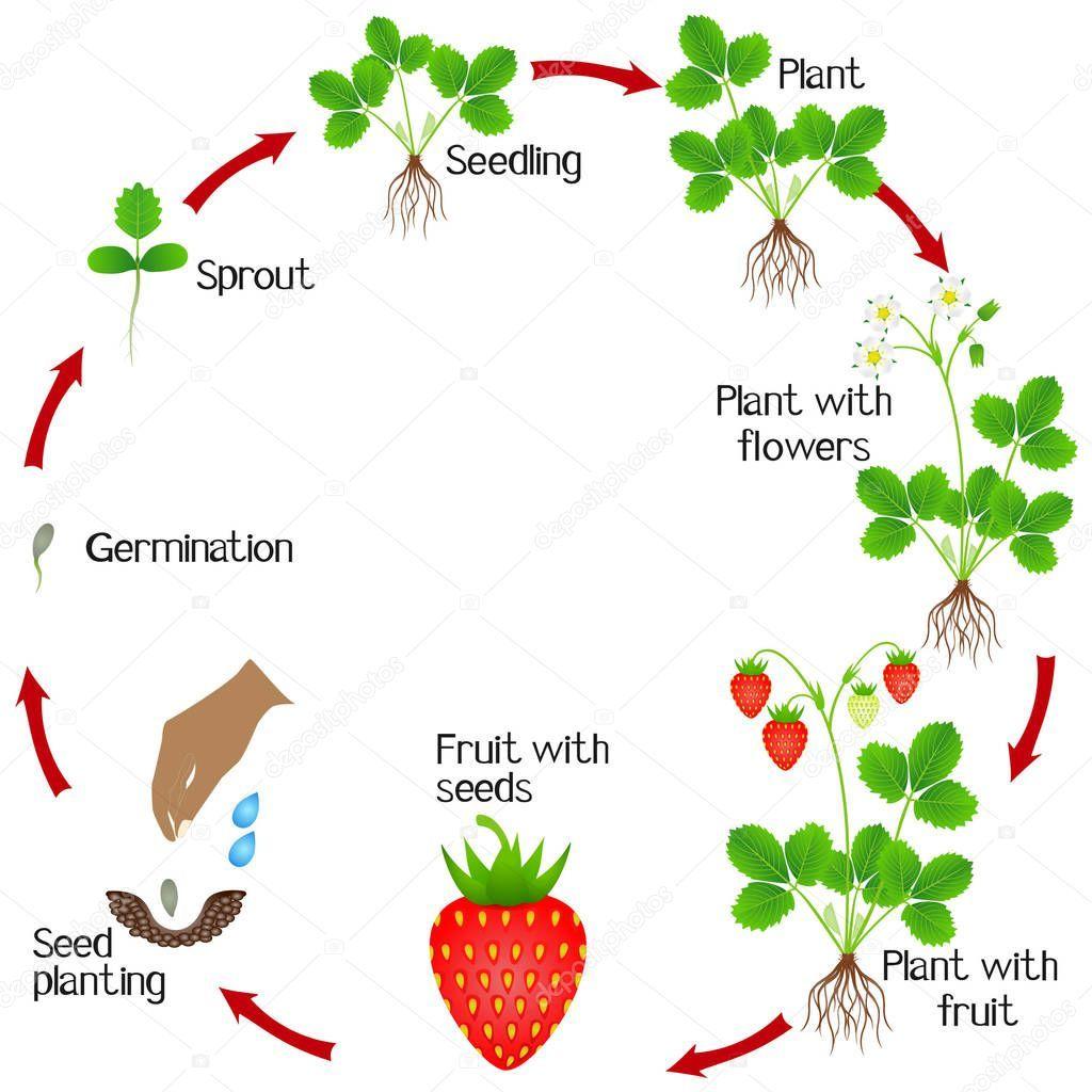 Plant Life Cycle Life Cycles Preschool Plant Life Cycle Plant Life Cycle Worksheet [ 1236 x 1600 Pixel ]