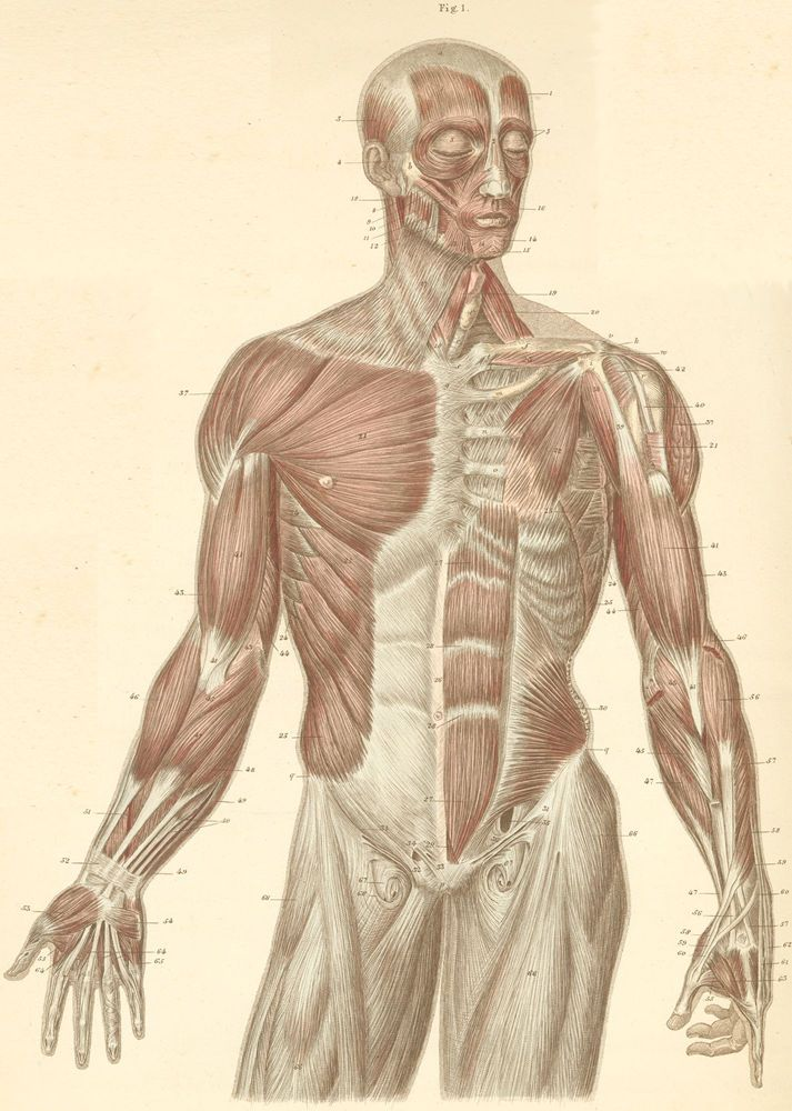 Head, trunk, and arm muscles, at the anterior surface of the body ...