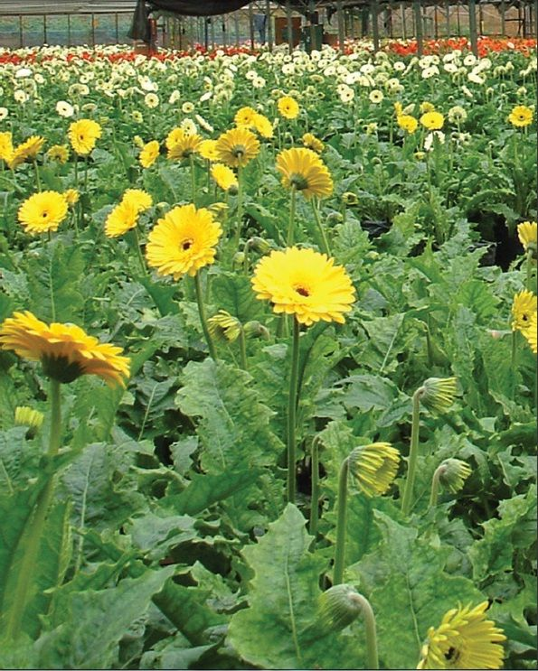 Sri Lanka S Floriculture Sector Generates High Net Foreign Exchange Earnings To The Country While Contributing To Employment G Horticulturist Plants Urban Area