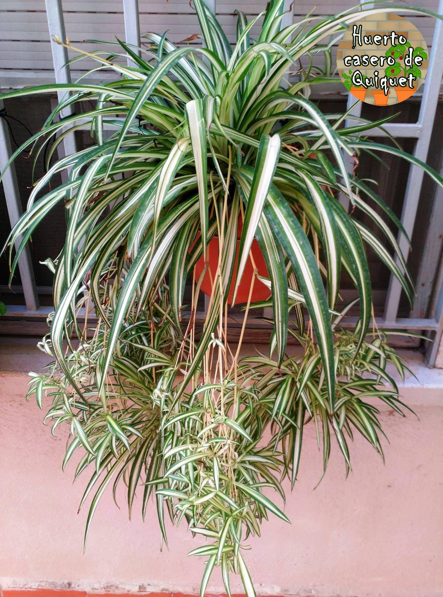 Planta Cinta Del Amor Una Planta Que Purifica El Ambiente  ~ Plantas Que Limpian El Ambiente