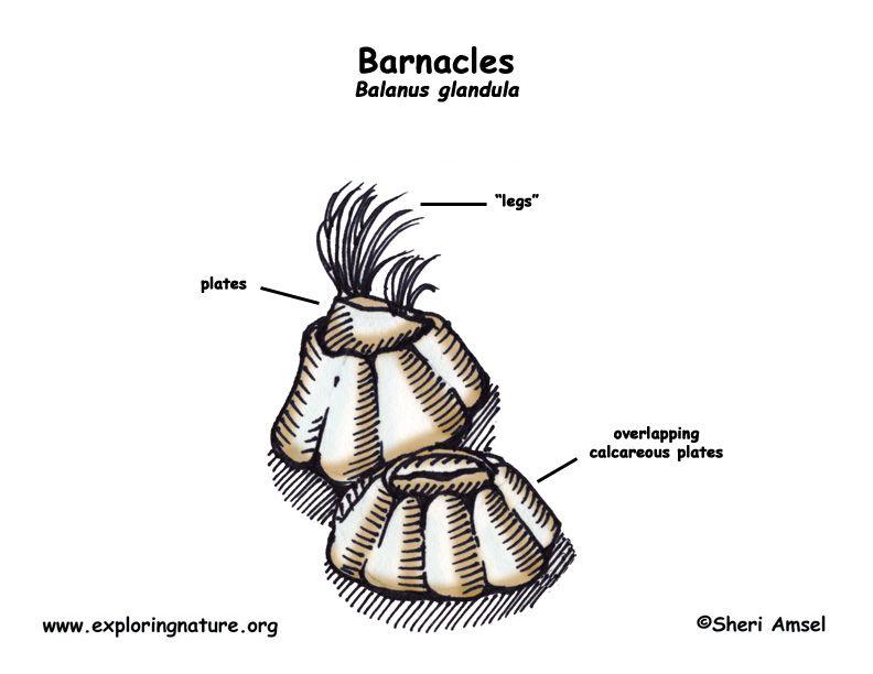 Balanus también conocido como bellotas de mar, es un género de ...