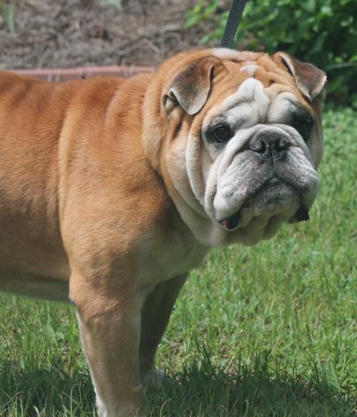 Meet Tank Belvedere 22909 A Petfinder Adoptable English Bulldog
