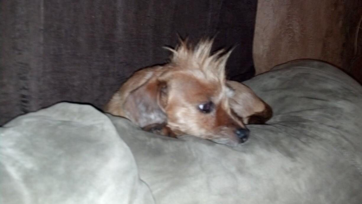 This is my other dog Carmalla aka Mouse. I gave her a Mohawk too...