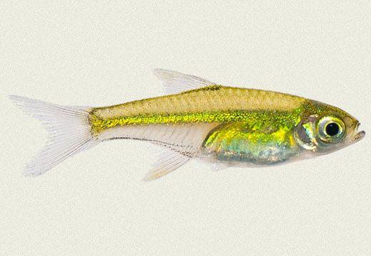 Green Neon Rasbora Aquarium fish, Tropical fish, Zoo animals