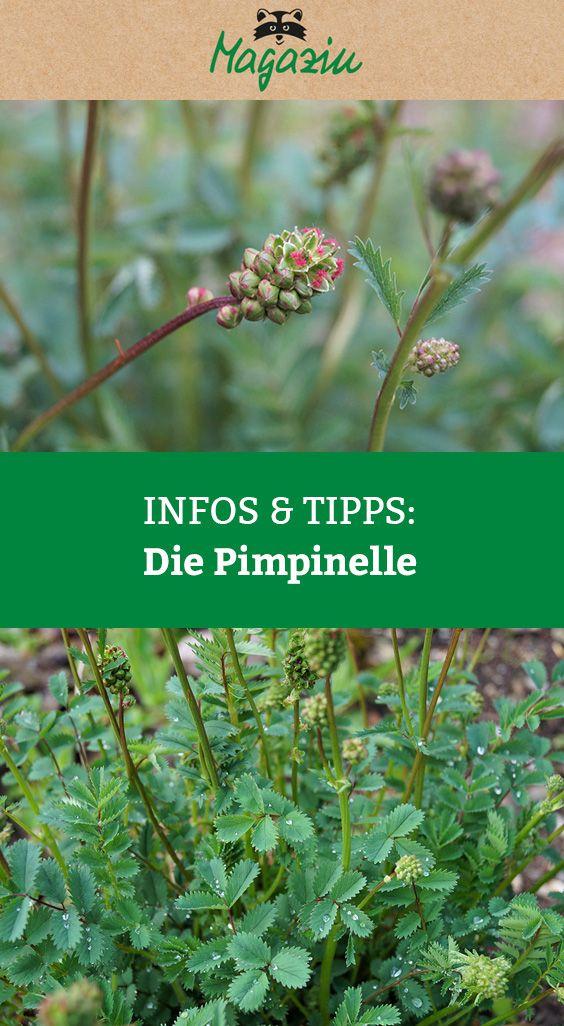 Kennen Sie die Pimpinelle? Immer weniger Menschen antworten darauf mit Ja. Unser Garten- und Wildpflanzenexperte Rudi Beiser will das ändern. Er stellt das würzige Pflänzchen vor und erklärt warum Pimpinelle eigentlich nicht der richtige Name ist.