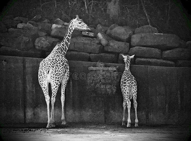 Mother Baby Giraffe Giraffe Mother Images