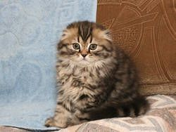 Scottish Fold Kittens For Kitten Los Angeles Usa Free Clifieds