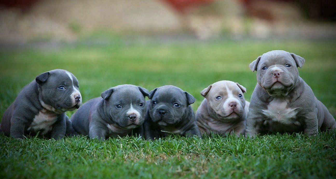 Pin On Best American Bully Puppies