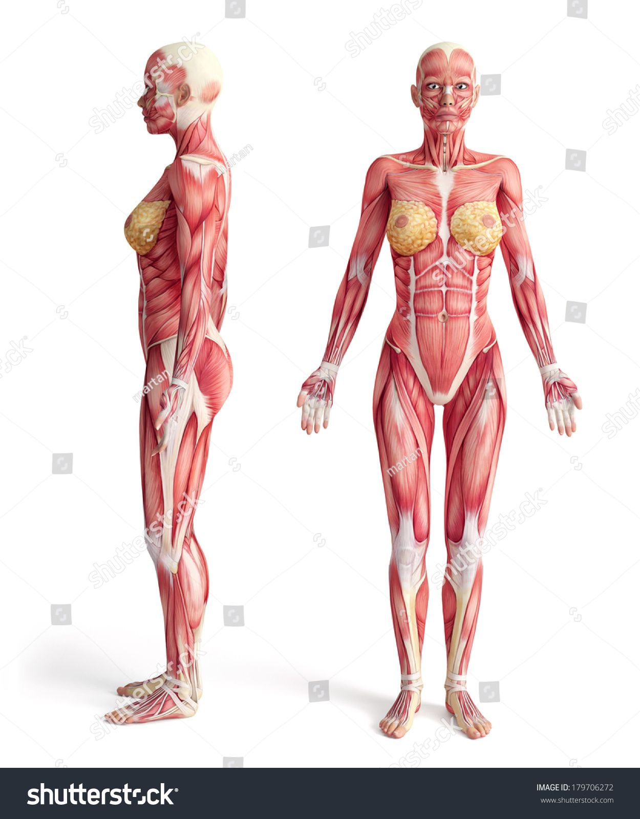 stock-photo-anatomy-of-muscular-system-front-and-side-view-female ...