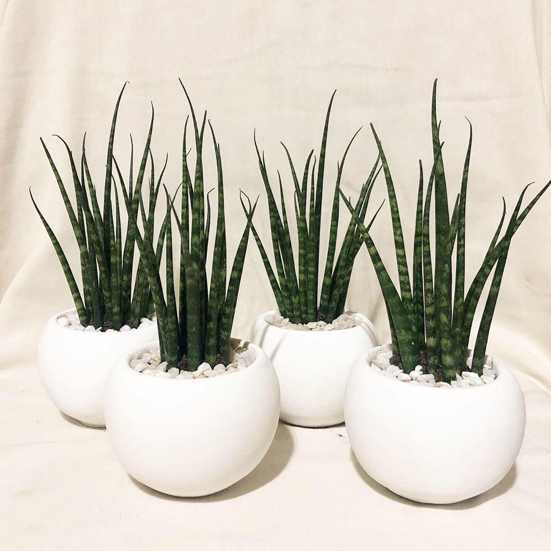Tiny Plants Sansevieria Snake Plant Cute Pots For Plants Plant