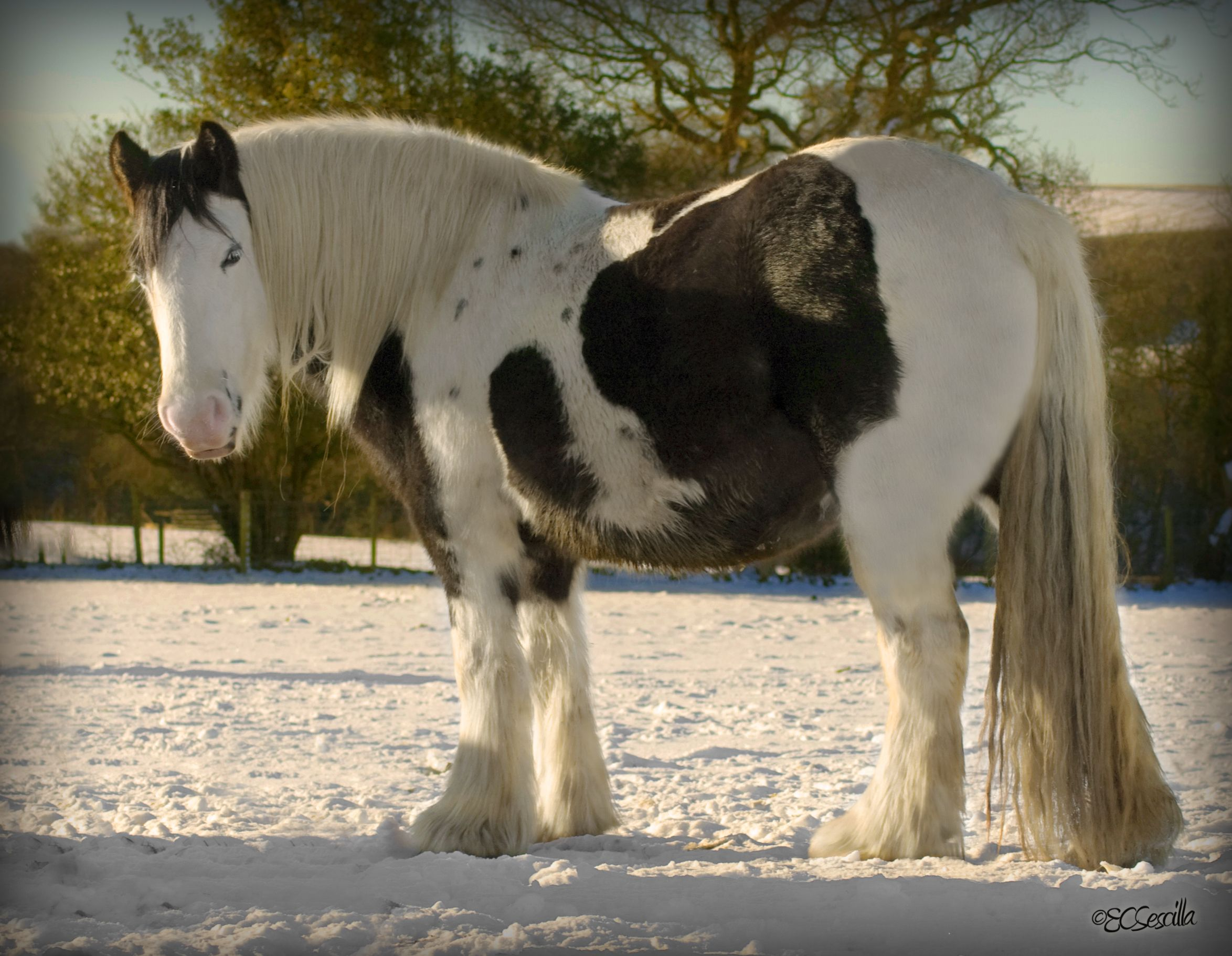 Gypsy Vanner in Winter