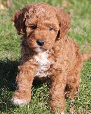 Miniature Poodle Puppies Looks Just Like My Baby When She Was