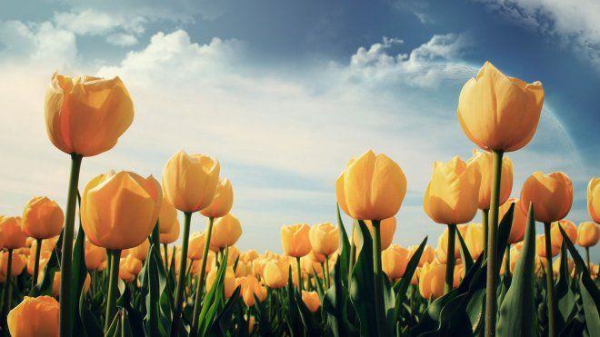 40 Beautiful Flower Wallpapers For Your Desktop Mobile And Tablet Hd Wallpapers Beautiful Flowers Wallpapers Yellow Tulips Tulips Flowers
