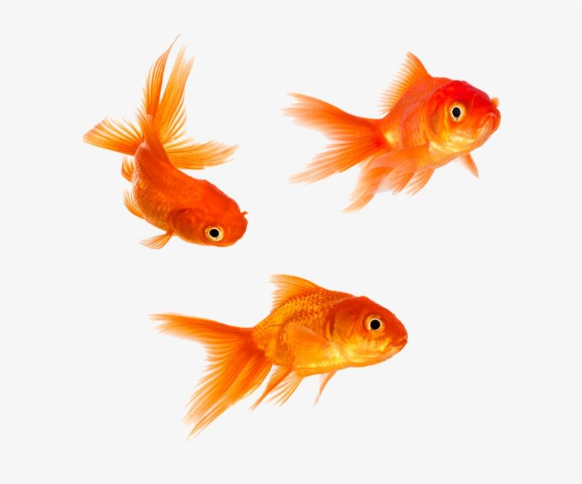 Download Animal Magic Goldfish Png Gold Fishes Png Image For Free Search More High Quality Free Transparent Png I Animal Magic Goldfish Fish Cartoon Drawing