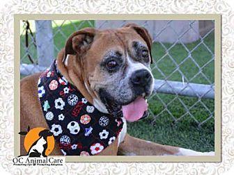Orange, CA Boxer. Meet QUINCY JONES a Dog for Adoption