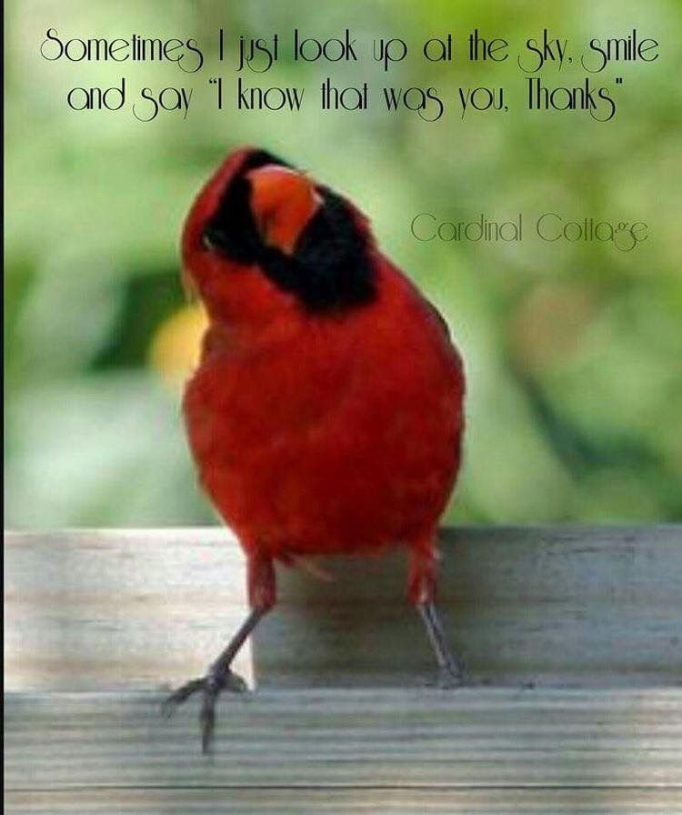 Cardinal birds image by kim goodwin on Try Giving Thanks