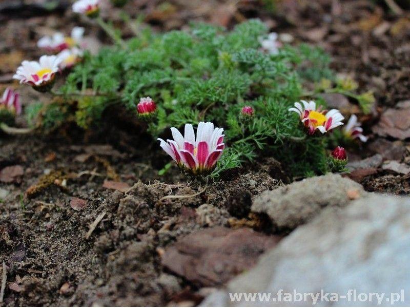Bertram Marokanski Silberkissen Fabryka Flory Plants Bertrams