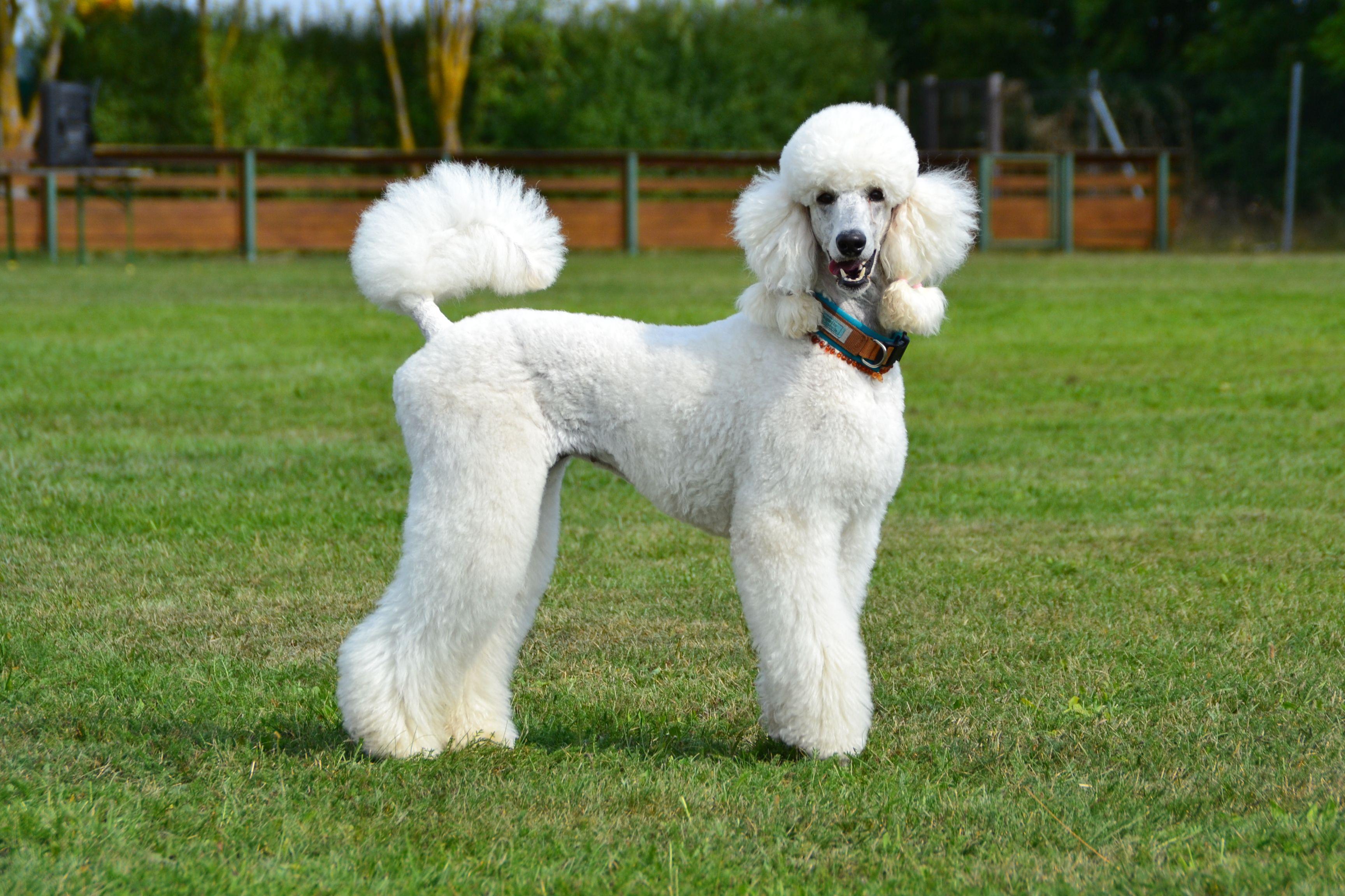 Königspudel | Poodle, Dogs, Animals