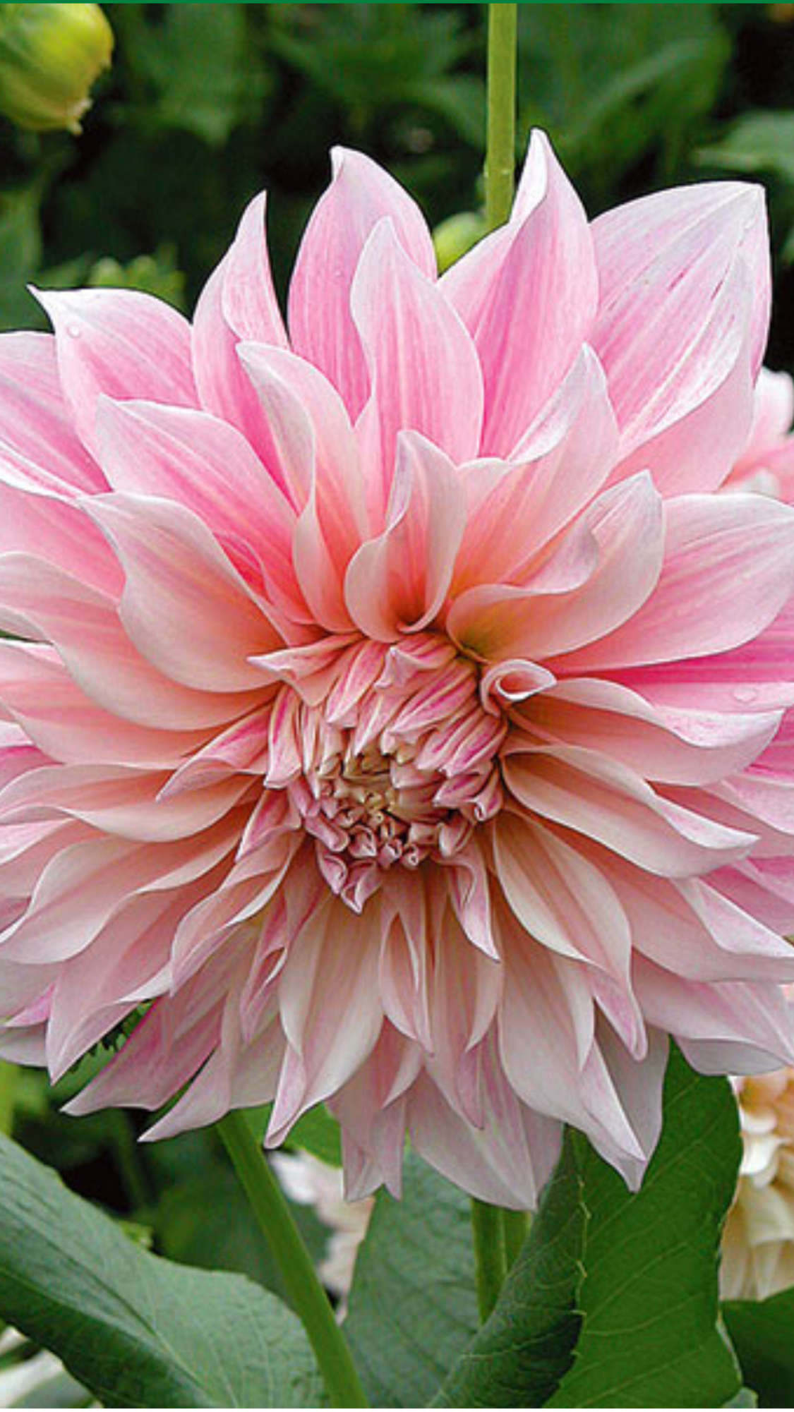 From White Flower Farm Catalogue Dahlia Cafe Au Lait Blooming