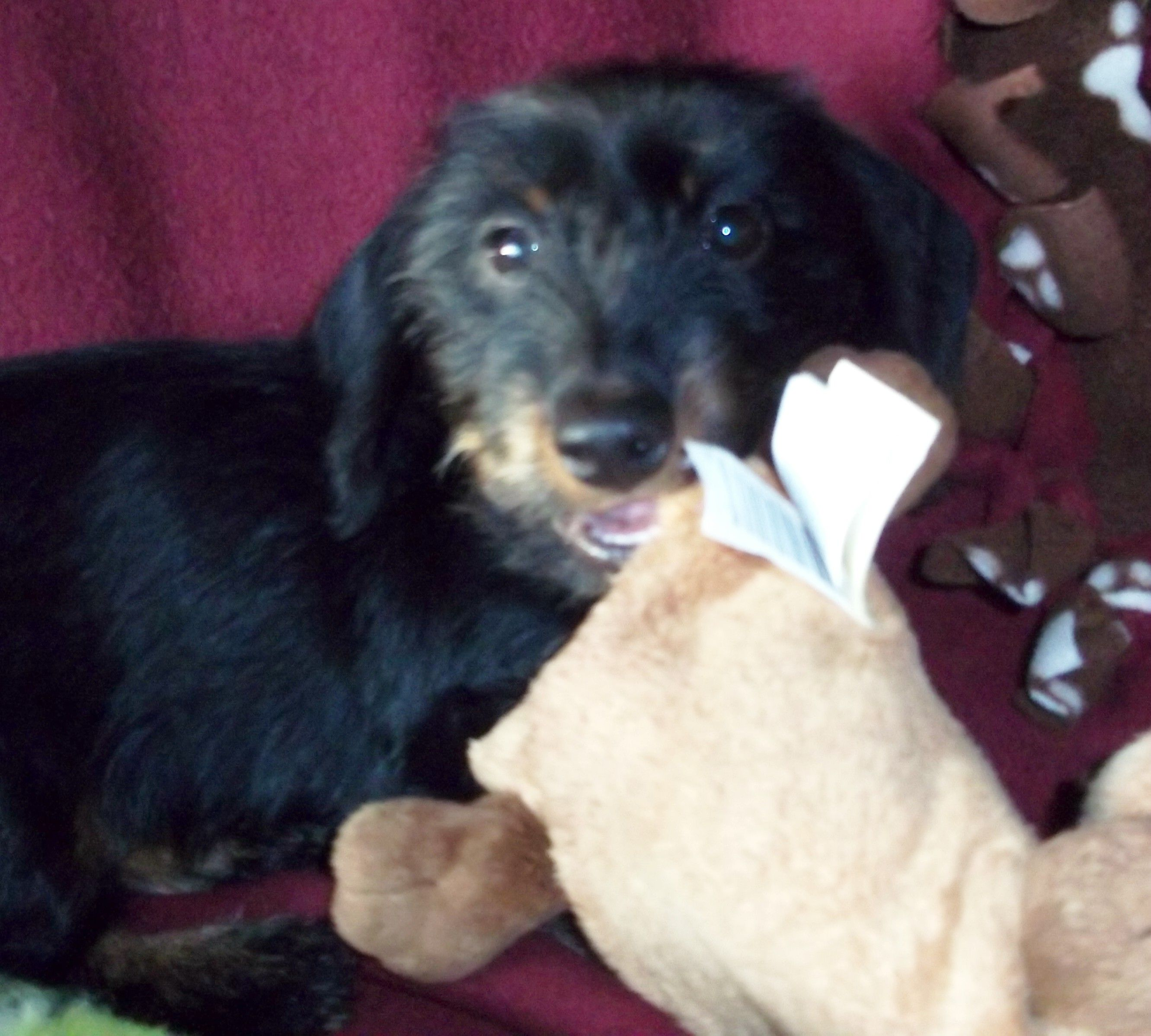 Here Is Hilda My Mini Black And Tan Wirehair Dachshund At 13 Weeks Old She Is Awesome Dachshund Black And Tan Animals