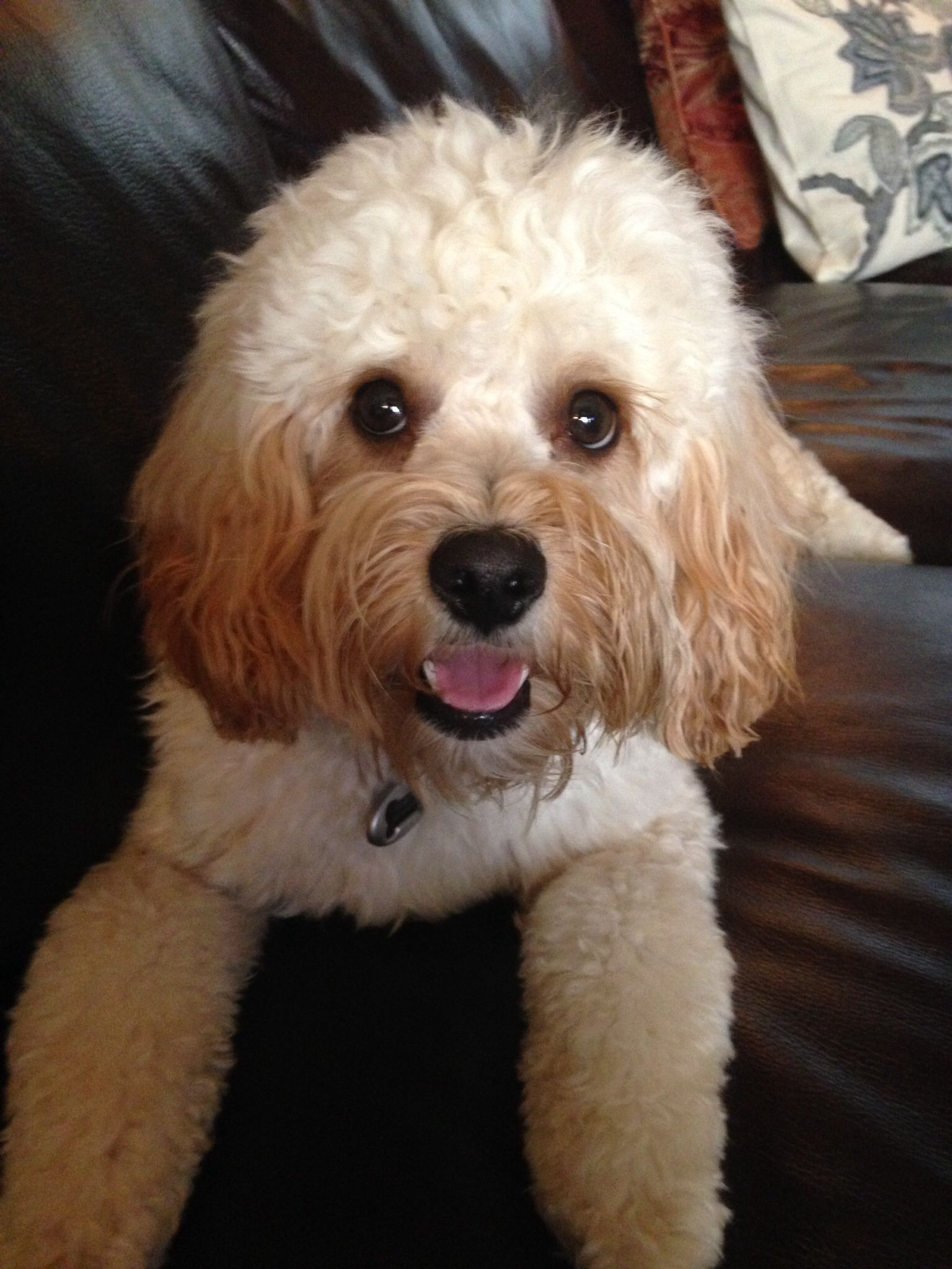 1year old Cooper my CavaPooShon Dogs, My girl, Animals