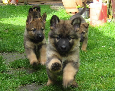 Charge ! GSD puppers! Shepherd puppies, Puppies, Dogs