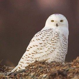 snowy owl on duxbury beach ma the purple on its crown means it was rh pinterest com