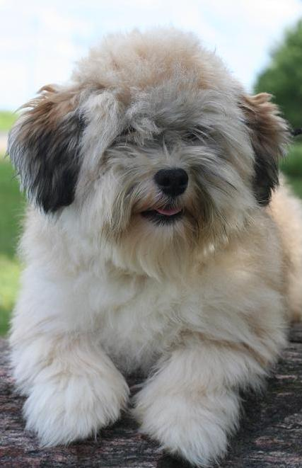 Pin by Amy Boone on Havanese More (With images) Havanese