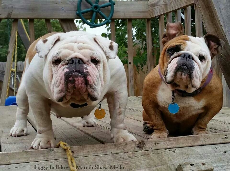 Awww Cuties English Bulldog Bulldog Animals