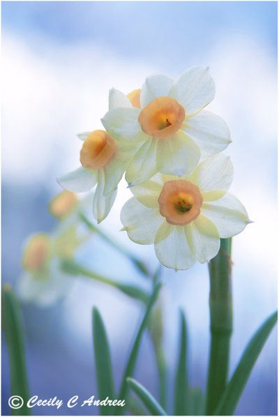 Petite Daffodils by CecilyAndreuArtwork on deviantART