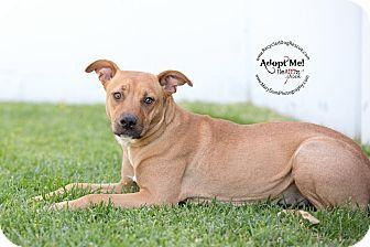 Pictures Of Honey A Labrador Retriever Rhodesian Ridgeback Mix For Adoption In Long Beach Ca Who Needs A Labrador Retriever Pets English Bulldogs For Adoption