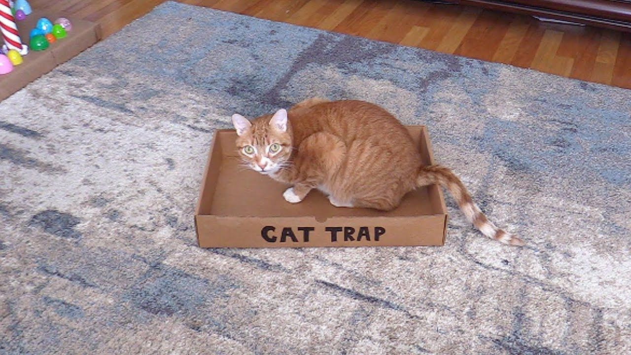 How to catch a cat dog cat pictures cat traps cats