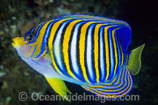 Regal Angelfish Pygoplites Diacanthus Photo 24m1000 16 Tropical Fish Tropical Fish Store Angel Fish