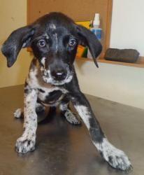 Adopt Mason On Great Dane Mix Labrador Retriever Dogs