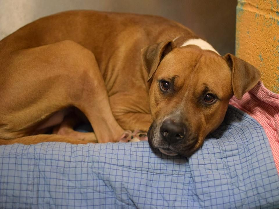 TO BE DESTROYED - 01/02/15 Brooklyn Center -P My name is SAFARI. My Animal ID # is A1023855. I am a female brown and white am pit bull ter and amer bulldog mix. The shelter thinks I am about 2 YEARS old. I came in the shelter as a STRAY on 12/22/2014 from NY 11207, owner surrender reason stated was STRAY. https://www.facebook.com/photo.php?fbid=934422346570645