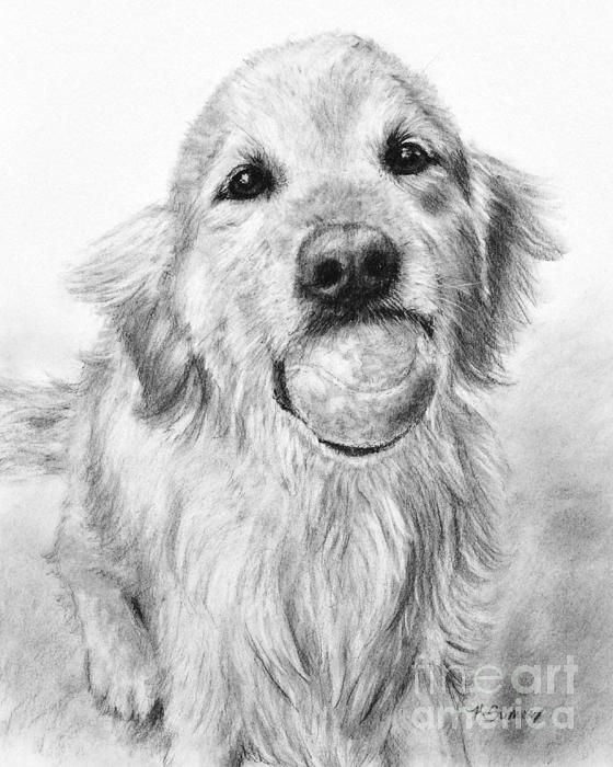 Golden Retriever With Tennis Ball Art By Kate Sumners Katesumners Com Prints Gifts Available Goldenretriev Golden Retriever Drawing Grace Art Animal Art