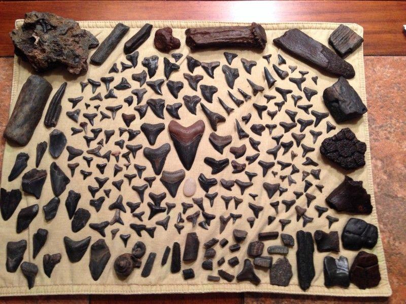 Florida Beach Prehistoric Shark Teeth