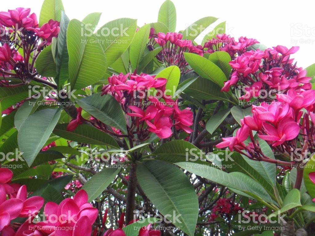 Spanish jasmine pink flowers izmirmasajfo