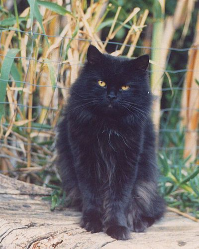 A Long Haired Manx Manx Kittens Cute Animals Cat Obsession