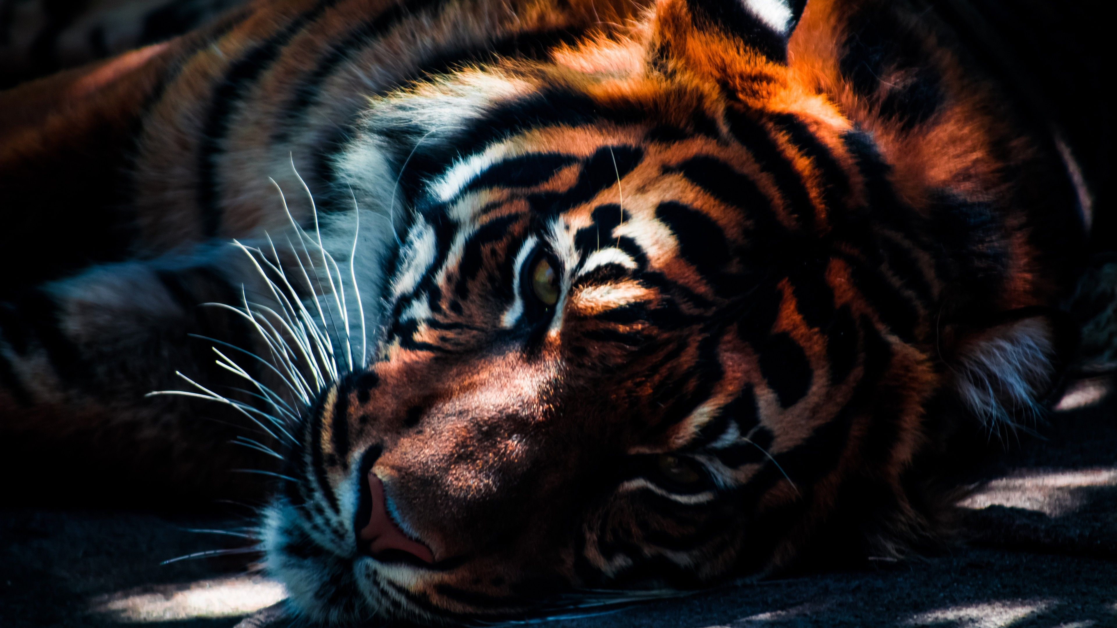 tiger wallpapers background | animals wallpapers | pinterest | tiger