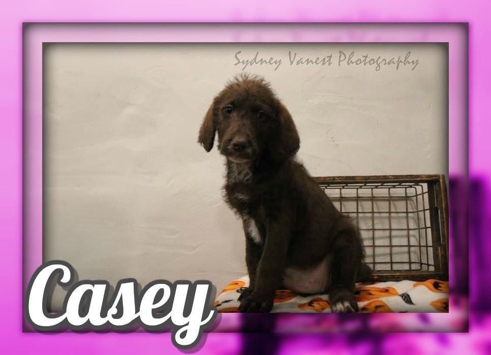 Casey F2 Female Labradoodle 600 Labradoodle Labradoodle Puppies For Sale Labradoodle Puppy