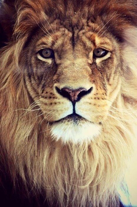 Leon Fondo Iphone Lion Cute Animals