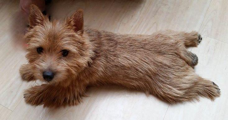 Froggy Australian Terrier Puppies Norfolk Terrier Norwich